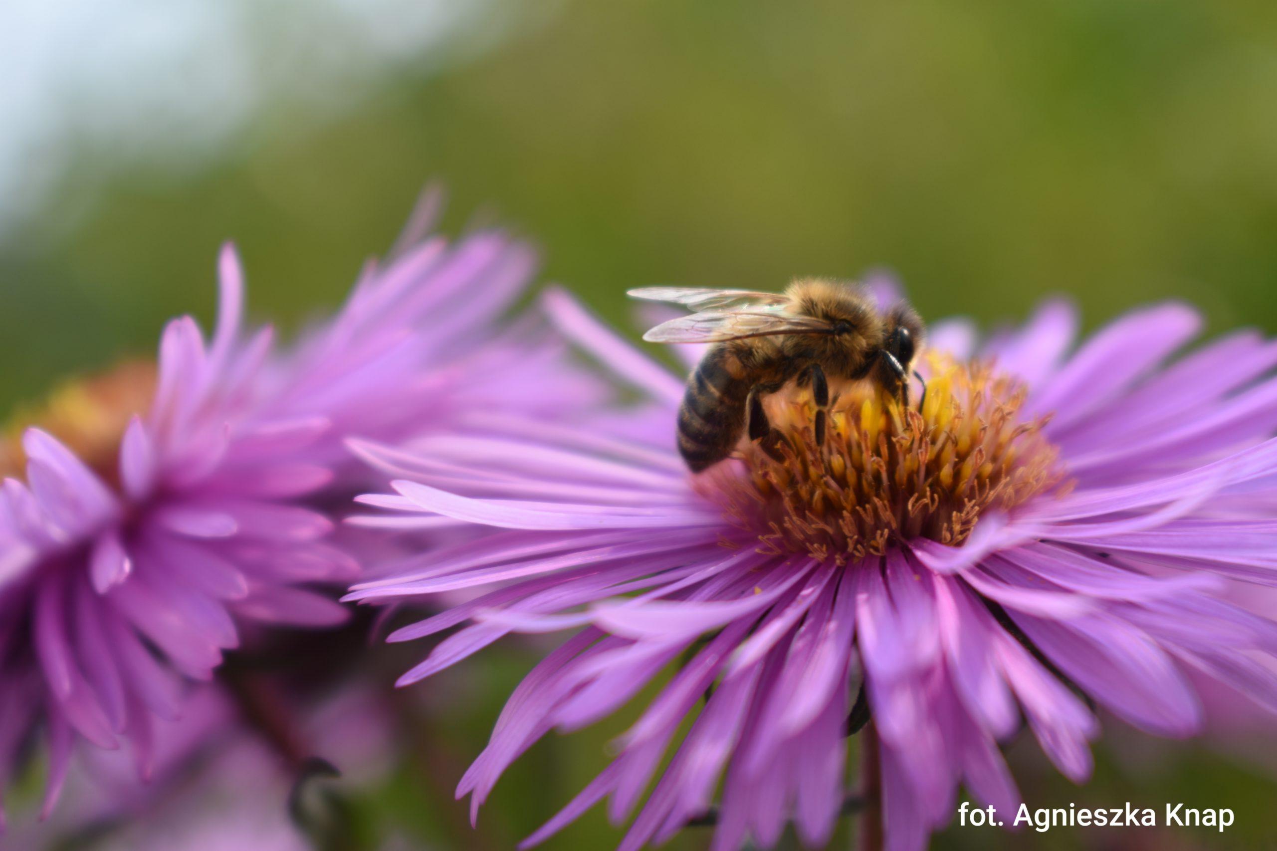 Projekt: W powiecie limanowskim pomagamy pszczołom